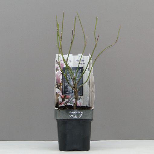 Magnolia x soulangeana (Hooftman boomkwekerij)