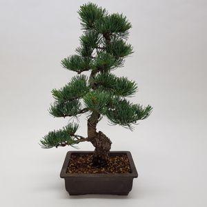 Pinus parviflora (M&M Garden)