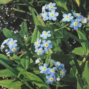 Myosotis palustris (van der Velde Waterplanten BV)