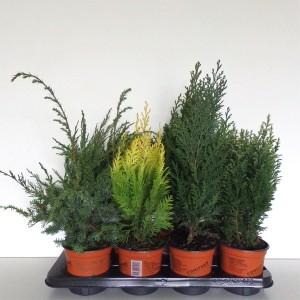 Conifers MIX (Boomkwekerij Potcultuur Gebr. Rademaker)