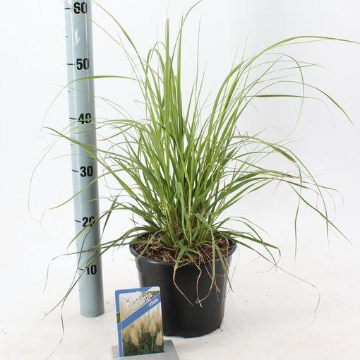 Cortaderia selloana (About Plants Zundert BV)