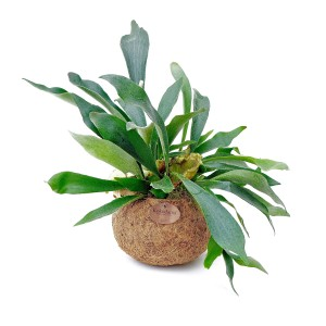 Platycerium bifurcatum (Kokodama)
