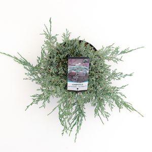 Juniperus horizontalis ICEE BLUE (Bremmer Boomkwekerijen)