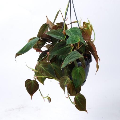 Philodendron scandens micans (Van der Arend Tropical Plantcenter)