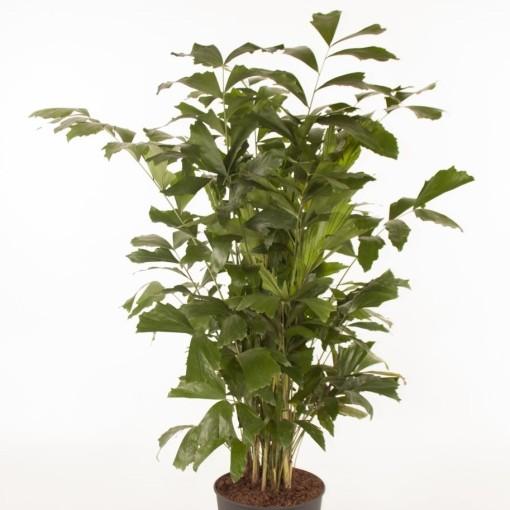 Caryota mitis (Ammerlaan, The Green Innovater)