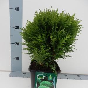 Thuja occidentalis 'Danica' (De Koekoek Potcultures)