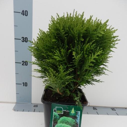 Thuja occidentalis 'Danica' (Koekoek Potcultures, de)