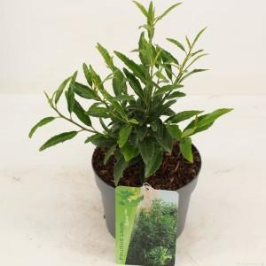 Prunus laurocerasus SOFIA