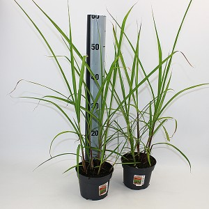 Miscanthus x giganteus (Experts in Green)