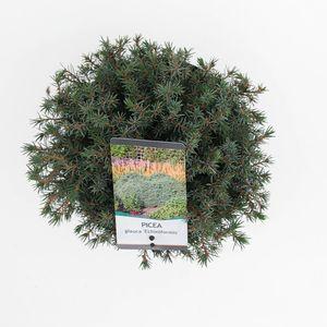 Picea glauca 'Echiniformis' (Bremmer Boomkwekerijen)