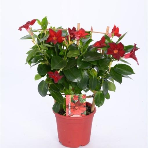 Mandevilla RIO DEEP RED (Bunnik Plants)