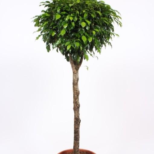 Ficus benjamina 'Danielle' (Fachjan)