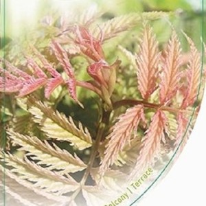 Sorbaria sorbifolia 'Sem' (Dool Botanic)