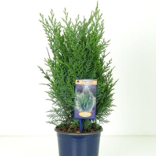 Chamaecyparis lawsoniana 'Pelt's Blue' (Kwekerij Vredebest)