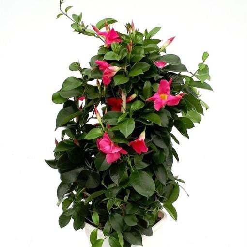 Mandevilla SUNDAVILLE MIX (RM Plants)