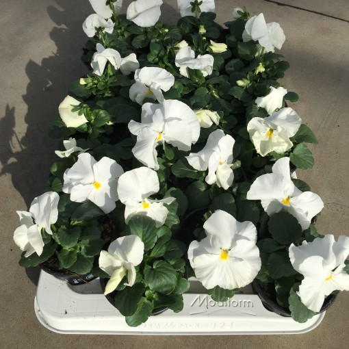 Viola x wittrockiana DELTA F1 PURE WHITE (Rodon Rolff B.V.)