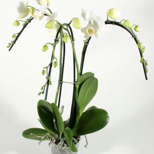 Phalaenopsis 'Tropic Snowball'