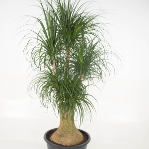 Beaucarnea recurvata (Ammerlaan )