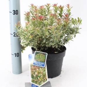 Pieris japonica 'Little Frosty'
