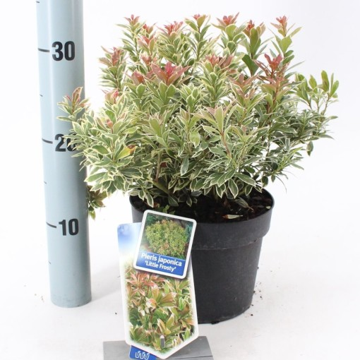Pieris japonica 'Little Frosty' (About Plants Zundert BV)
