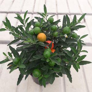 Solanum pseudocapsicum 'Thurino'