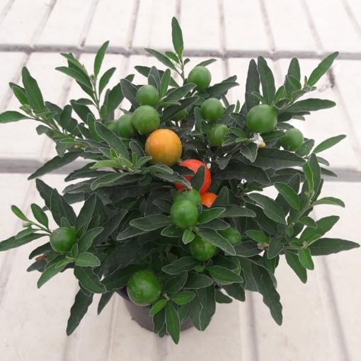 Solanum pseudocapsicum 'Thurino' (Gasa DK)