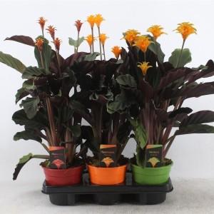 Calathea crocata MIX (Kwekerij Tass)