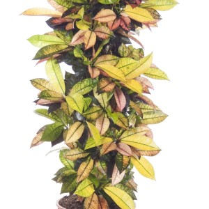 Codiaeum variegatum 'Mrs Iceton' (Ammerlaan )