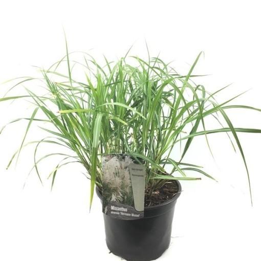 Miscanthus sinensis 'Hermann Müssel' (Oprins Plant)