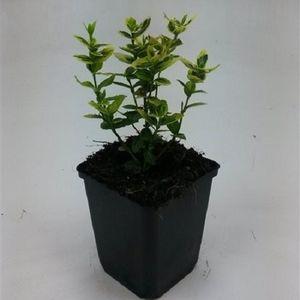 Euonymus fortunei 'Emerald 'n' Gold' (WTM de Boer)