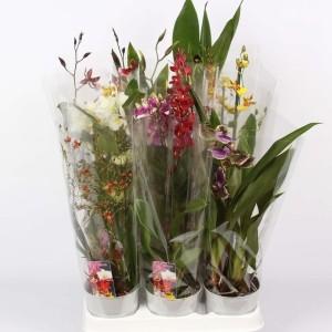 Orchids MIX (Lansbergen Orchideeën)