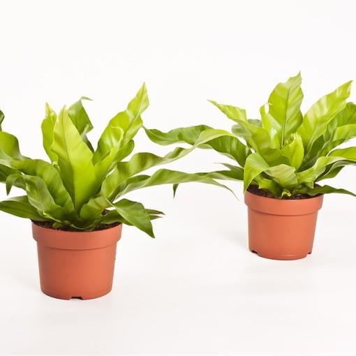 Asplenium antiquum (Bunnik Plants)