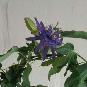Passiflora 'Jelly Joker' (Plantcare BVBA)
