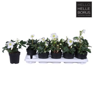 Helleborus niger 'Christmas Carol'