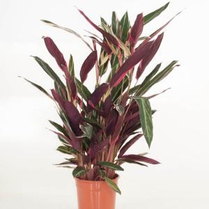 Stromanthe sanguinea 'Triostar' (Ammerlaan )