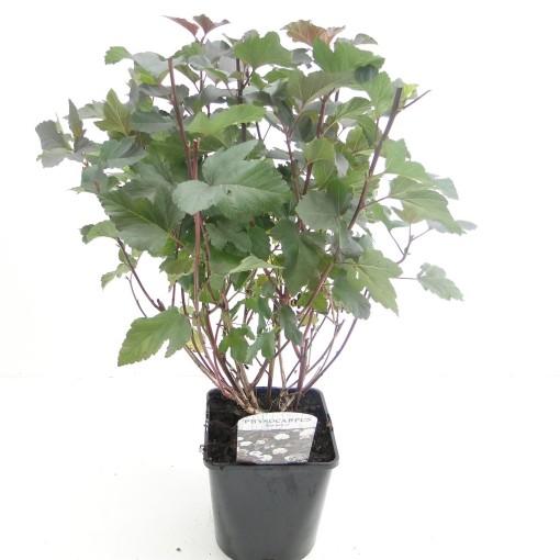 Physocarpus opulifolius 'Diabolo' (Hooftman boomkwekerij)