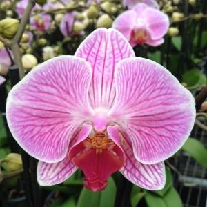 Phalaenopsis ANTHURA CLEVELAND
