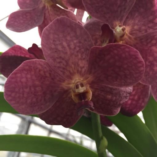 x Ascocenda 'Red Plum' (Wichmann Orchideen e.K.)