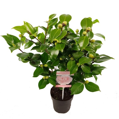 Camellia japonica 'Bonomiana' (Son & Koot BV)