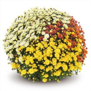 Chrysanthemum JASODA MIX IN POT