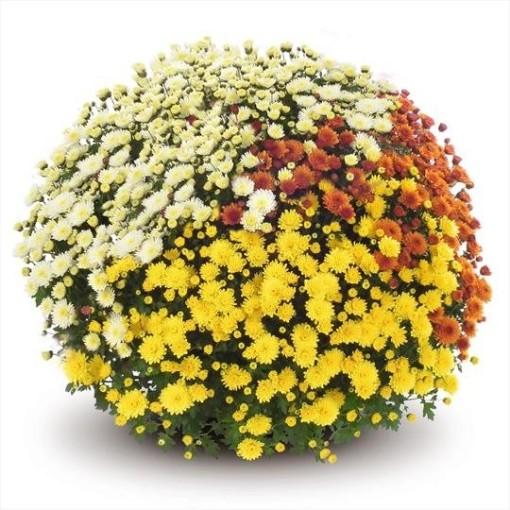Chrysanthemum JASODA MIX IN POT (Bas van der Wilt)