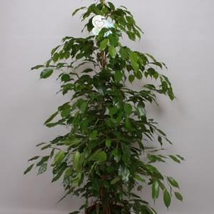 Ficus benjamina 'Danita'