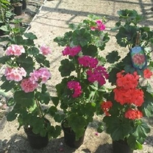 Pelargonium MIX