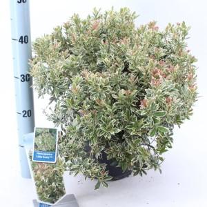 Pieris japonica 'Little Frosty'