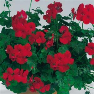 Pelargonium PACIFIC RED (Gebr. Seuren Rozenkwekerijen BV)