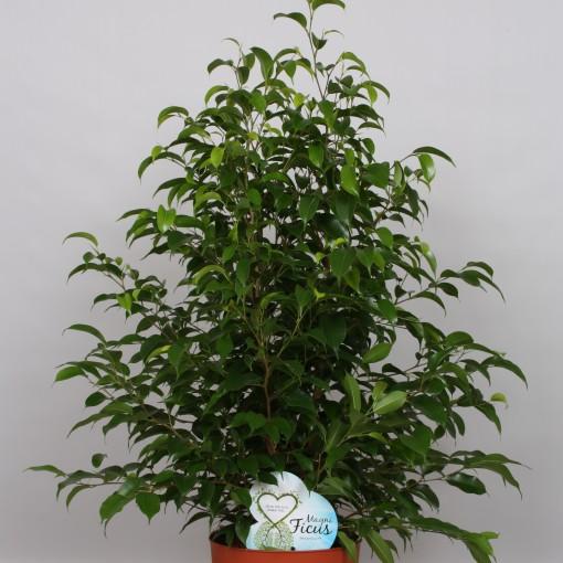 Ficus benjamina 'Natasja' (Peeters Potplanten)