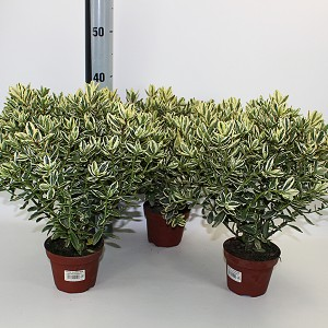 Hebe 'Andersonii Variegata' (Experts in Green)
