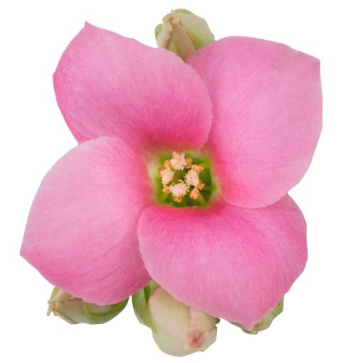 Kalanchoe blossfeldiana ORIGINALS JANE (Queen - Knud Jepsen a/s)