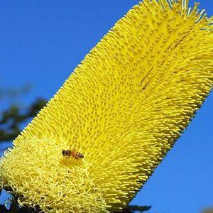 Banksia praemorsa 'Lemon' (Flora Toscana)