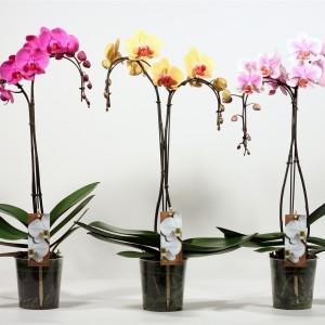 Phalaenopsis MIX (Kwekerij Duijn-Hove B.V.)
